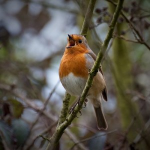 Singing robin by swh via Flickr