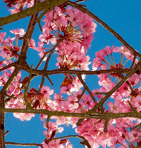 Pink Blossom image by Anguskirk via Flickr