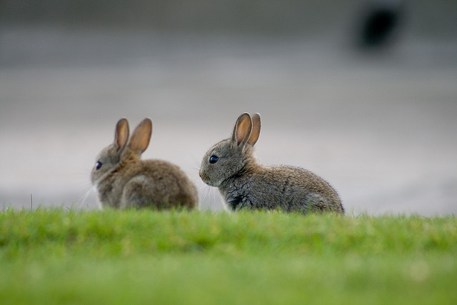 Chilbolton rabbits: image by Nick Devenish via Flickr.