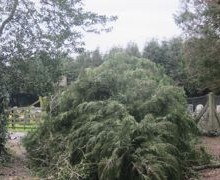 Huge Fallen Tree Blocks Ramalley Cemetery