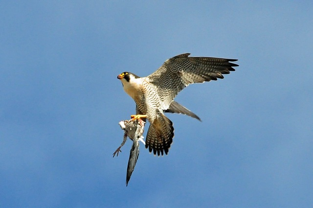 Peregrine falcons - Lansdowne tower, Bournemouth. Image by Ian Julian.