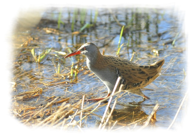Water Rail - Baffins Pond, Portsmouth. Image by Ian Julian.