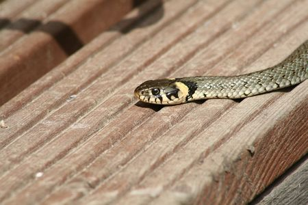 grass-snake image