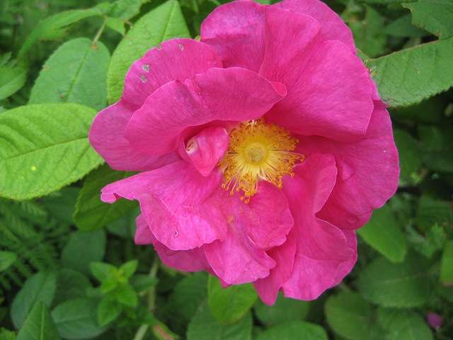 Apothecary Rose - Dean Garnier Garden. Image by Martin Tod via Flickr.