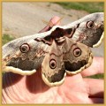 Europe's largest moth, known as the Emperor Moth (Saturnia pavonia).