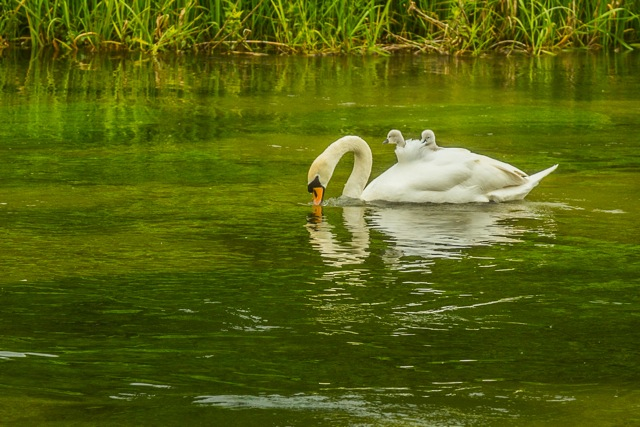 Swan and cygnets on the River Itchen.