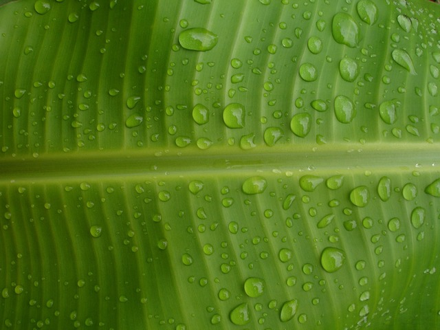 Banana green leaf
