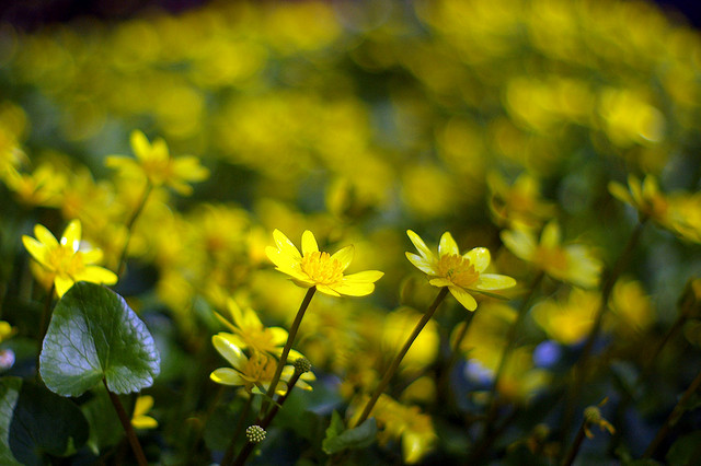 "Celendines by <a href=""https://www.flickr.com/photos/g_w_y_n/3416207448"">Gwyn Fisher</a> via Flickr."