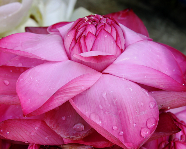 """Lotus flowers as religious offerings at the Dalada Maligawa (Temple of the Tooth), Kandy, Sri Lanka. Lotus flower by <a href=""""https://www.flickr.com/photos/denishc/11229566655"""">Denish C</a> via Flickr."""