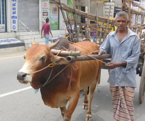 The Bullock Cart pulled by John's Successor.