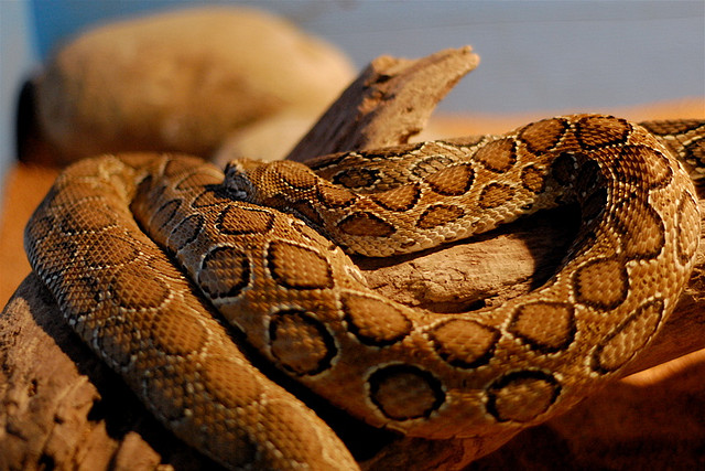 Russell's Vipers by Jonathan Crowe via Flickr.
