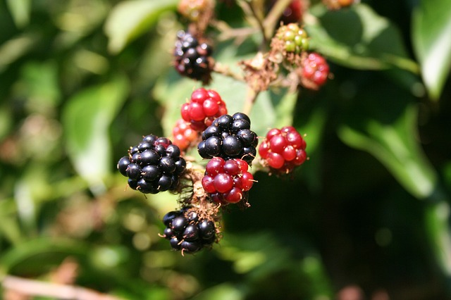 blackberries: In summer we would gather blackberries.
