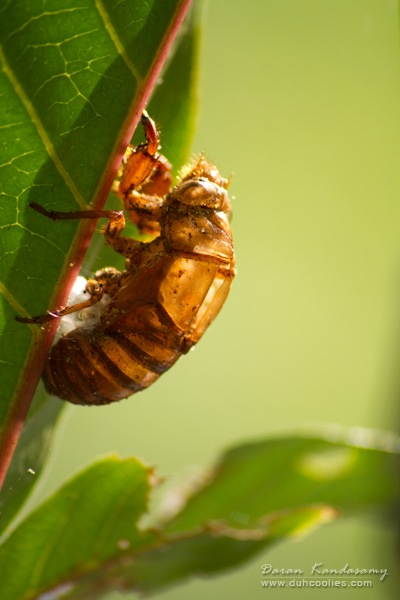 "cicada skin by <a href=""https://www.flickr.com/photos/daran_kandasamy/4396929279"">Daran Kandasamy</a> via Flickr."