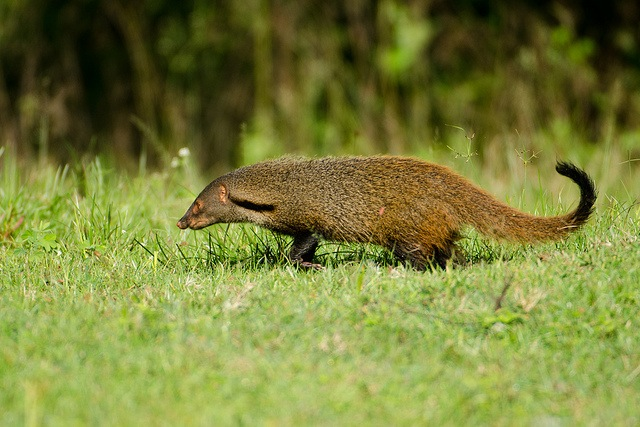 "Stripe-necked Mongoose (Herpestes vitticollis). Image by <a href=""https://www.flickr.com/photos/srikaanth-sekar/10036270315""> Srikaanth Sekar </a> via Flickr."