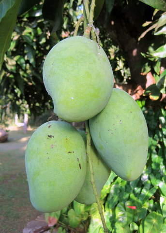 These mangos will be ripe in a few days, if the monkeys don't get them first.