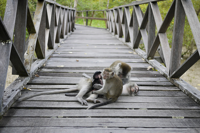 "Monkeys in Sarawak. Image by <a href=""https://www.flickr.com/photos/djtbay/14001076832"">Duncan Taralrud-Bay</a> via Flickr."