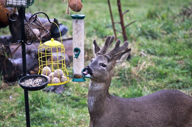 Caught in the act - a deer after a free lunch. Views From My Window by Mark Braggins - deer.