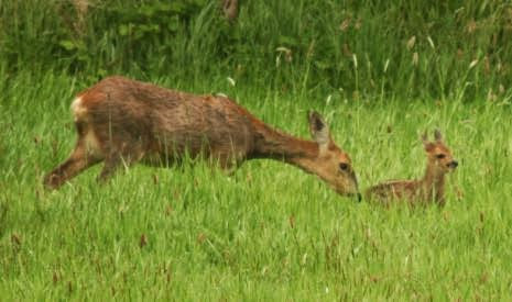 A tiny fawn, reluctant to move, is nudged forwards by its mother. Views From My Window by Mark Braggins - deer.