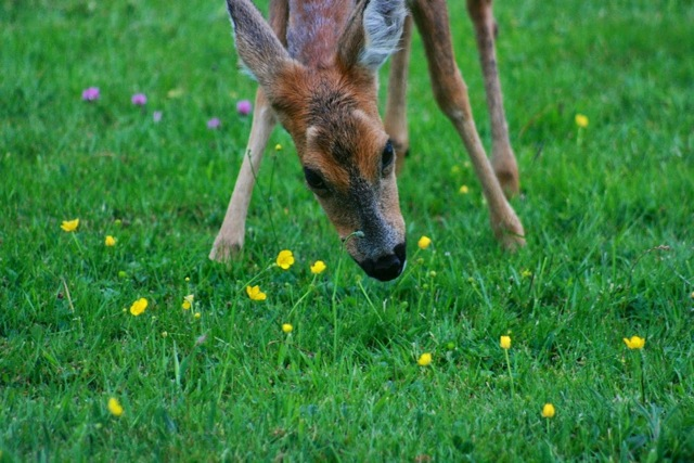 Leaving just the stalks - a deer quaffs buttercups. Views From My Window by Mark Braggins - deer.