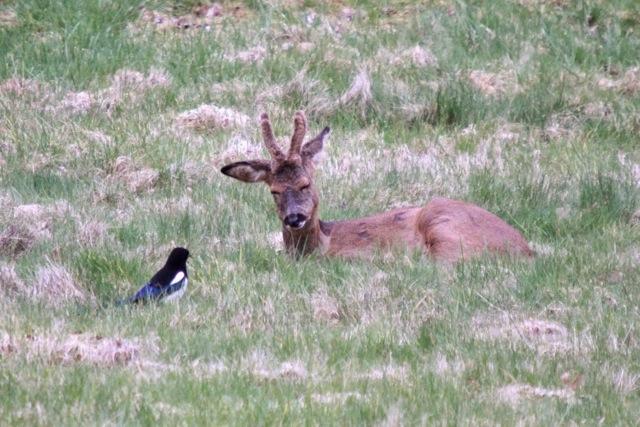 Sharing a joke perhaps? Deer and magpie. Views From My Window by Mark Braggins - deer.