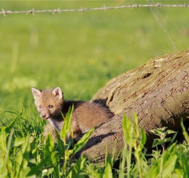 Fox cub: image by Mark Braggins