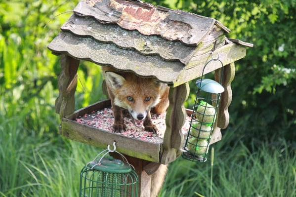 Fox inside bird table