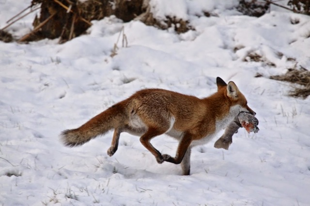 Fox with fish
