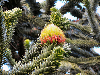 Monkey Puzzle tree with cone