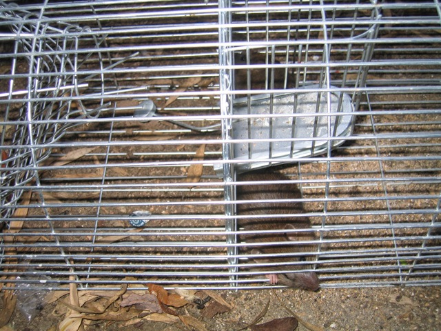 This brown rat was caught in a garden in Chandler's Ford, Eastleigh.