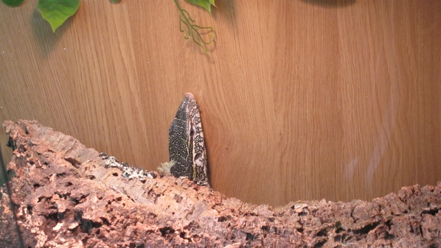 Nile monitor at Tropic Exotics in Eastleigh.
