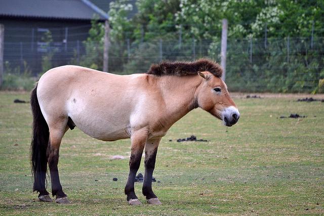 Przewalski's Horse. Flickr, Chris K