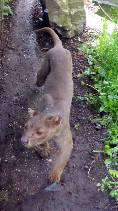Fossa from Madagascar. One of the Mongoose family.