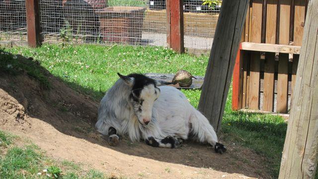 Brambridge goats