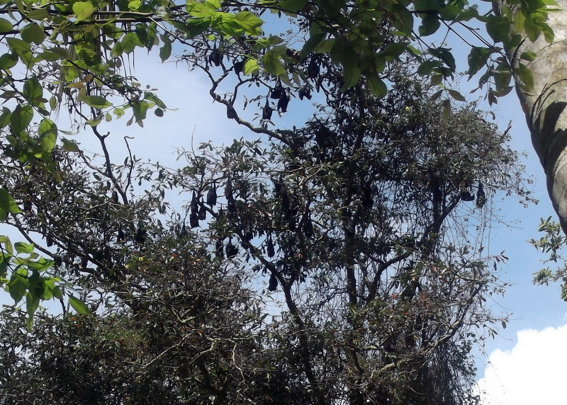 Fruit bats roosting during the day