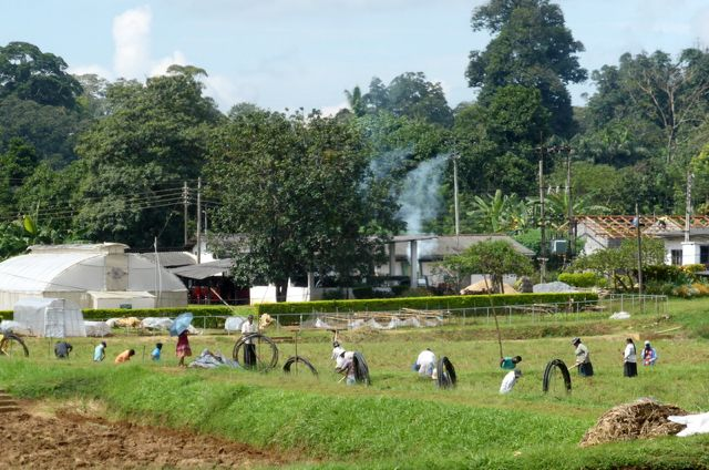 workers laying irrigation pipes at the Dept of Agriculture in Sri Lanka