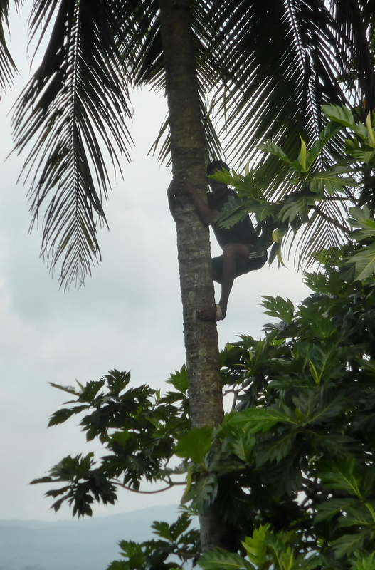 Man climbs the coconut palm