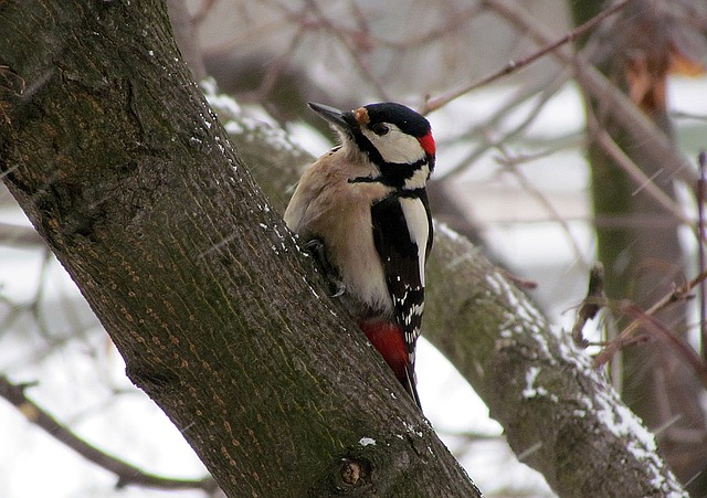 I've seen all main woodpecker types in our area (image via Pixabay)