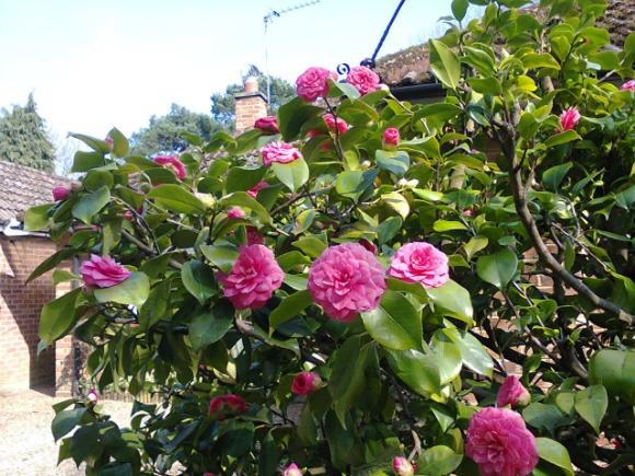 My camellia (image by Allison Symes)