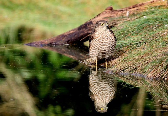 Sparrowhawks are seen in Chandler's Ford - image via Pixabay