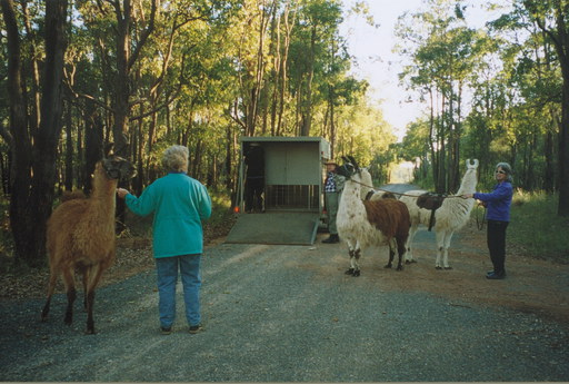 4 Llamas unloaded from the Llama Limo at a 'Drop off point' about 4km from the property (Photo by Wendy F)