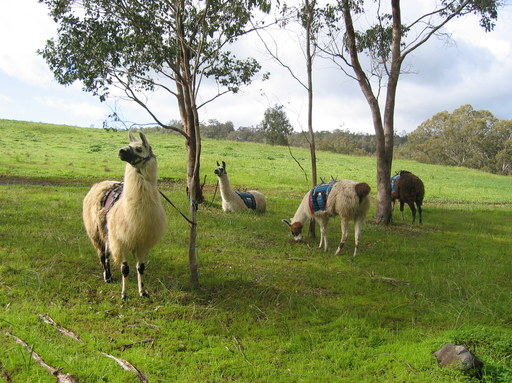 The llamas also get a rest and some pellets to eat