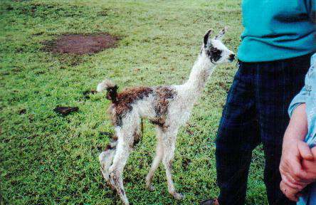 Recently Born Cria