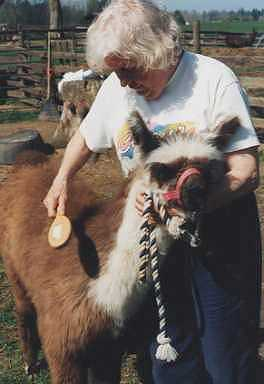 Brushing a teenage llama