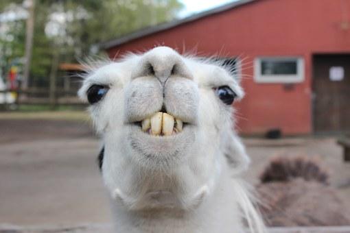 An adult llama's teeth (Photo by Pixaby)