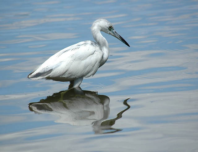 Egret - can be seen near cities - image via Pixabay