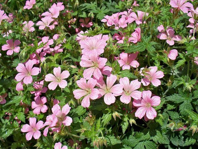 geranium PollyDot image Pixabay