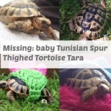 Missing:  Baby Tunisian Spur Thighed Tortoise