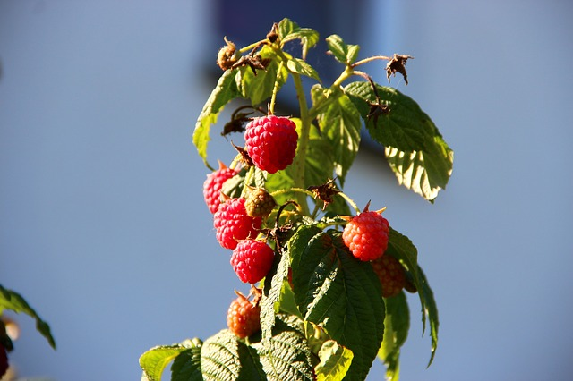 Optimusius1 pixabay image raspberries