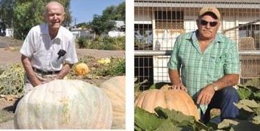 Really large pumpkins from an American competition