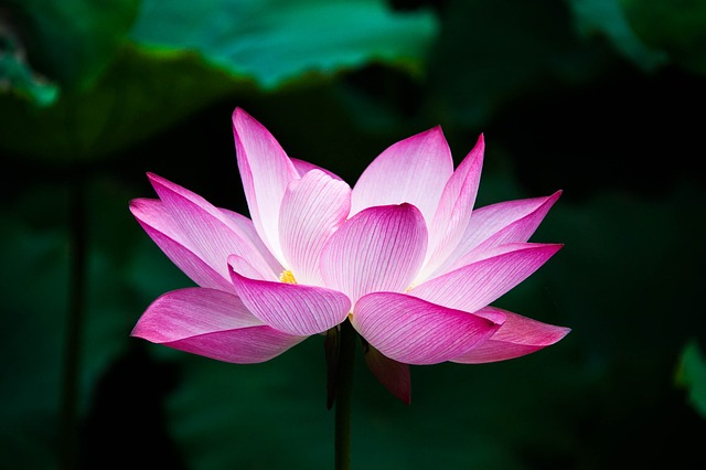 Lotus image by jennyzhh2008 via Pixabay.